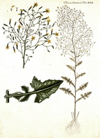 Mycelis muralis (L.) Dumort. [as Prenanthes muralis L.]  (1761 - 1883)
