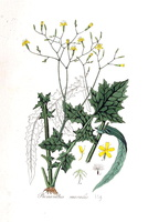 Mycelis muralis (L.) Dumort. [as Prenanthes muralis L.]  (1828)