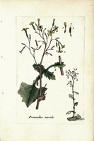 Mycelis muralis (L.) Dumort. [as Prenanthes muralis L.]  (1776 - 1781)