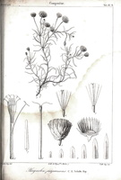 Phagnalon saxatile (L.) Cass. [as Phagnalon purpurascens Sch.Bip.]  (1836)