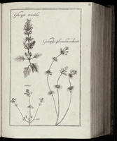 Lamium amplexicaule L. [as Galeopsis folio caulem anbiente minor Riv.] (1690 -1777) - 02