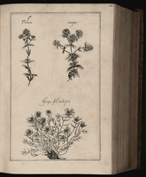 Teucrium montanum L. [as Ajuga folio integro Riv.]  (1690 - 1777)