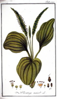 Plantago major L. great plantain, Common Plantain (1796)