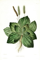 Plantago major L. [as grand plantain]  (1865 - 1871)