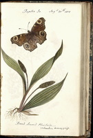 Plantago major L. [as Broad leaved plantain]  (1819)