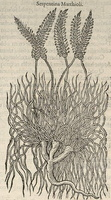 Plantago subulata L. var. but see Lejeune 391 [as Serpentina Matthioli]  (1583)