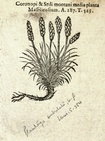 Plantago subulata L. [as Coronopi]  (1581)