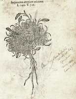 Plantago subulata L. [as Serpentina omnium minima] (1581)
