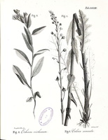 Verbascum sinuatum Lemaitre ex Boreau [as Celsia sinuata (L.) Colla]  (1835 - 1837)
