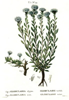 Globularia repens Lam. [as Globularia nana Lam.]  (1812)