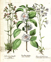 Campanula rapunculus L. [as Rapunculus sylvestris major]  (1620)