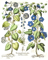 Campanula rotundifolia L. [as Campanula minor sylvestris flore caeruleo]  (1620)