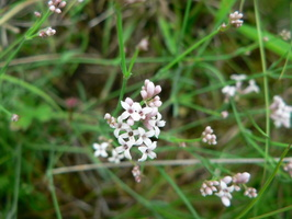 Asperula cynanchica - 04