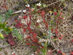 Sessiles, à 3-5 lobes, souvent rougeâtres: Saxifraga tridactylites